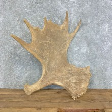 Moose Shed Antler For Sale #21523 @ The Taxidermy Store