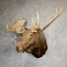 Western Canada Moose Head Taxidermy Shoulder Mount For Sale