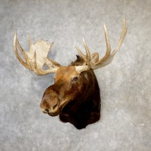 Eastern Canada Moose Taxidermy Shoulder Mount For Sale