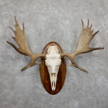 Moose Skull European Mount For Sale #19453 @ The Taxidermy Store