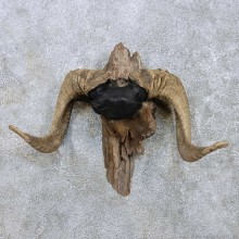 Corsican Ram Skull Cap Horn Mount For Sale #13890 For Sale @ The Taxidermy Store