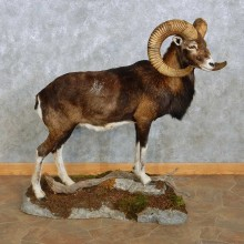 Iberian Mouflon Ram Life-Size Mount For Sale #15118 @ The Taxidermy Store