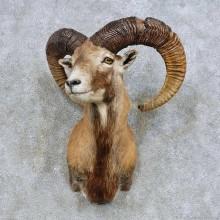 Mouflon Ram Shoulder Mount For Sale #14607 @ The Taxidermy Store
