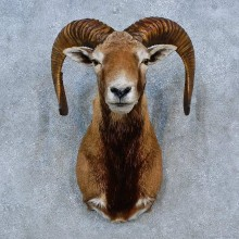 Mouflon Ram Taxidermy Shoulder Mount For Sale
