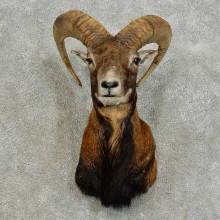 Mouflon Ram Taxidermy Shoulder Mount For Sale