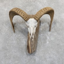 Mouflon Ram Horn Taxidermy Mount For Sale #19531 For Sale @ The Taxidermy Store