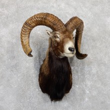 Mouflon Ram Shoulder Mount For Sale #19442 @ The Taxidermy Store