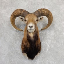 Mouflon Ram Shoulder Mount For Sale #19653 @ The Taxidermy Store