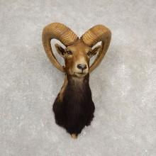 Mouflon Ram Shoulder Mount For Sale #20527 @ The Taxidermy Store