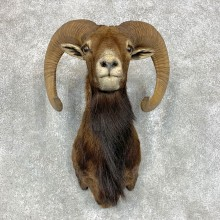 Mouflon Ram Shoulder Mount For Sale #21727 @ The Taxidermy Store
