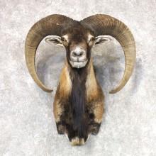 Mouflon Ram Shoulder Mount For Sale #22516 @ The Taxidermy Store