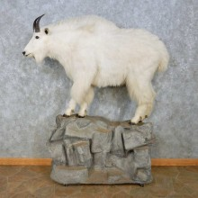 Mountain Goat Life-Size Mount For Sale #15084 @ The Taxidermy Store