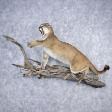 Attacking Mountain Lion/Cougar Life-Size Mount