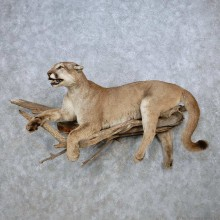 Perched Mountain Lion (Cougar) Taxidermy Mount For Sale
