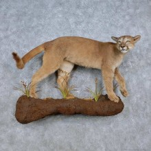 Cougar Life-Size Taxidermy Mount For Sale