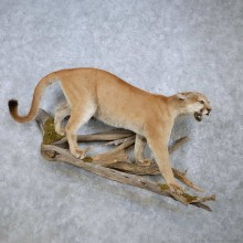 Mountain Lion Life-Size Mount For Sale #14581 @ The Taxidermy Store