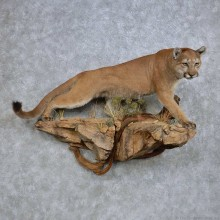 Perched Mountain Lion/Cougar Taxidermy Mount For Sale