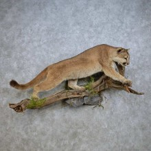 Mountain Lion Life-Size Mount For Sale #14932 @ The Taxidermy Store