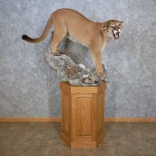 Mountain Lion (Cougar) Pedestal Taxidermy Mount For Sale