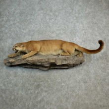 Mountain Lion Life-Size Mount For Sale #16982 @ The Taxidermy Store