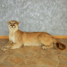 Laying Mountain Lion Life-Size Mount #13020 For Sale @ The Taxidermy Store