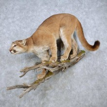 Mountain Lion Life-Sze Mount For Sale #14892 @ The Taxidermy Store