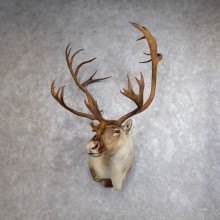 Mountain Caribou Shoulder Mount For Sale #18621 @ The Taxidermy Store