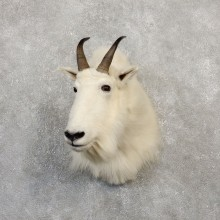 Mountain Goat Taxidermy Shoulder Mount For Sale
