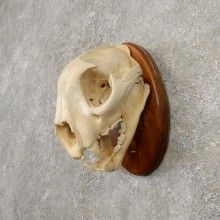 Mountain Lion Cougar Full Skull For Sale #20553 @ The Taxidermy Store