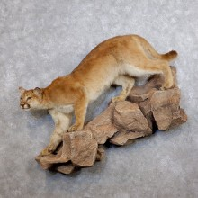Mountain Lion Life-Size Mount For Sale #18750 @ The Taxidermy Store
