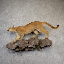 Mountain Lion Life-Size Mount For Sale #18875 @ The Taxidermy Store