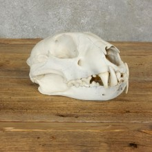 Mountain Lion Cougar Full Skull For Sale #17064 @ The Taxidermy Store
