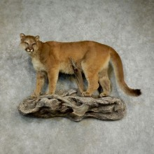 Mountain Lion Life-Size Taxidermy Mount For Sale