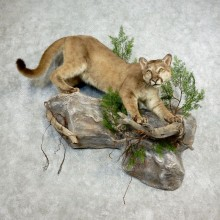 Mountain Lion Life-Size Mount For Sale #17807 @ The Taxidermy Store