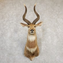 Mountain Nyala Taxidermy Shoulder Mount For Sale
