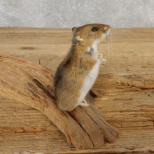 Mouse Life-Size Mount For Sale #21122 @ The Taxidermy Store