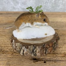 Mouse Life-Size Mount For Sale #21558 @ The Taxidermy Store