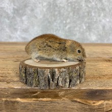 Mouse Life-Size Mount For Sale #21559 @ The Taxidermy Store