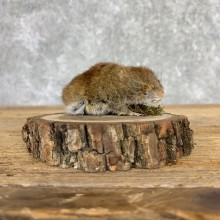 Mouse Life-Size Mount For Sale #21561 @ The Taxidermy Store