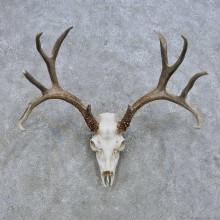 Mule Deer Skull European Mount For Sale #14649 @ The Taxidermy Store