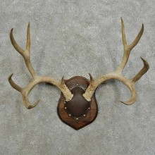 Mule Deer Antler Plaque For Sale #15992 @ The Taxidermy Store