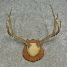 Mule Deer Skull European Mount For Sale #16623 @ The Taxidermy Store