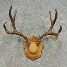 Mule Deer Skull European Mount For Sale #16624 @ The Taxidermy Store
