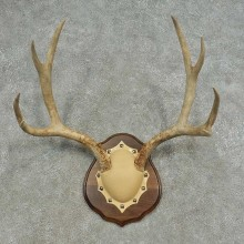 Mule Deer Skull European Mount For Sale #16626 @ The Taxidermy Store