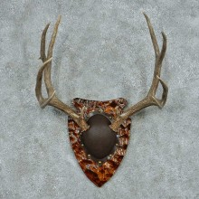 Mule Deer Antler Plaque Mount #13774 For Sale @ The Taxidermy Store