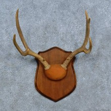 Whitetail Deer Antler Plaque Mount For Sale #15437 @ The Taxidermy Store