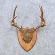 Mule Deer Antler Plaque Taxidermy Mount For Sale #13950 For Sale @ The Taxidermy Store