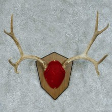 Mule Deer Antler Mount #13452 For Sale @ The Taxidermy Store