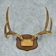 Mule Deer Taxidermy Antler Mount #13454 For Sale @ The Taxidermy Store