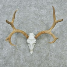 Mule Deer Skull & Horn European Taxidermy Mount #12841 For Sale @ The Taxidermy Store